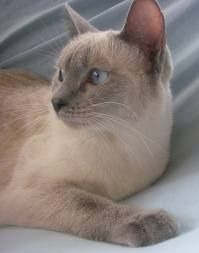 Siamese Cat, Blue Point, reminds me of my Blue, miss him!