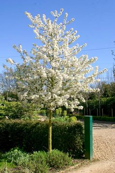 Tree. Malus Everest.In bloom end April/May. Same as our 'Family tree' planted at our local country park, beautiful! 18ft.