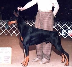 Doberman Best In Show Doberman Pinscher Dog, Doberman Dogs, Purebred Dogs, American Doberman, Kinds Of Dogs, Dog Show, Service Dogs, Rottweiler, Dog Owners