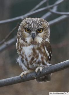 northern saw-whet owl ~ so cute