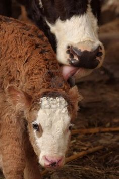 Mother cow licking little baby calf