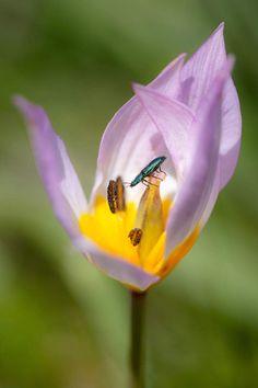 "22. ""Bright microcosms."" Psilothrix viridicoerulea beetle sits on a flower tulip Tulipa saxatilis on the island of Crete, Greece. (Stavros M..."