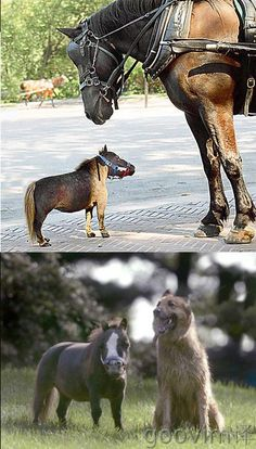 One day I am going to have a Big and Small farm, this photo will give you an idea....Smallest horse in the world. Le plus petit cheval au monde.