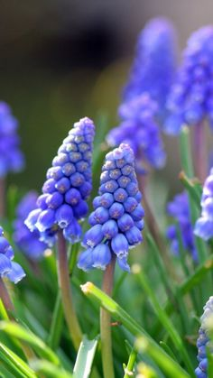 https://wallpaperscraft.com/download/muscari_flowers_leaves_spring_nature_21167/1080x1920
