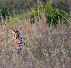 Google+ #serval