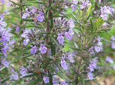 Le romarin est une plante qui détient de nombreuses propriétés médicinales qui s'utilisent depuis l'Antiquité dans différentes cultures. Au niveau spirituel, cette plante est connue pour attirer les amours sincères et le bonheur