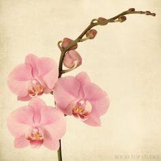 Pink orchid botanical print by Allison Trentelman