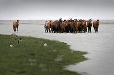 de paarden bij een overstroming in ferwert