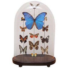 Specimen Butterflies Under Glass Dome