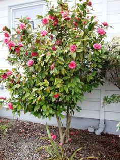 Camellia shaped into a tree. ONLY grows in zones 7-9 :( but blooms in the winter there!
