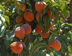 Peaches in June on the trees at Opal Street.