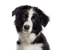 Headshot Of A Border Collie Puppy 4 Months Old Puppy Pictures, Cute Pictures, Border Collie Puppies, Border Collies, Border Collie Pictures, Dog Dna, Interactive Dog Toys, Best Dog Training, Dog Barking