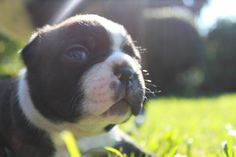 Boston terrier pup