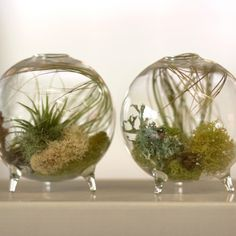 Footed Aerium - $32.00»  Add a little serenity to your desktop with a live plant. I adore this footed aerium!