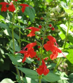 Tropical Red Sage