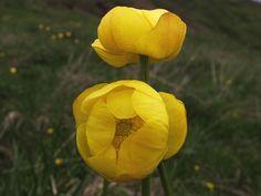 """Especie espontánea de la flora de la Península Ibérica,  alcanza los 60 cm de altura y sus flores de color amarillo brillante parecen globos.  Feliz...............""""QUINTA-FLOWER""""✿╮"""