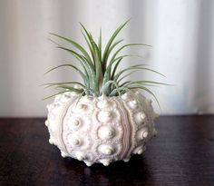 Small air plant vessel - Etsy listing at http://www.etsy.com/listing/96133420/large-pineapple-air-plant-tillandsia-sea