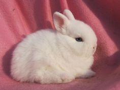 Baby Dwarf Bunnies   ... for sale rabbits netherland dwarf baby netherland dwarf bunnies ready