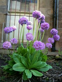 primula vulgaris Primrose Today, I'm gonna introduce you all to three different genus of plants called primula or primrose as they are c. Spring Plants, Spring Blooms, Spring Flowers, Sun Plants, Blue And Purple Flowers, Beautiful Flowers, Landscaping With Rocks, Yard Landscaping, Landscaping Ideas