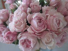 David Austin Rosalind rose, alternative for peonies