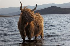 A symbol and icon, ancient and hardy yet faintly comical, a Highland cow cools its heels in Loch Hope, Sutherland