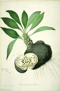 Sydney Parkinson botanical drawing - this looks like the tropical fruit Soursop/ Annona Muricata