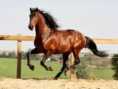 Cavalo lusitano   © João Gomes