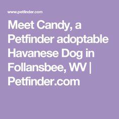 Meet Candy, a Petfinder adoptable Havanese Dog in Follansbee, WV | Petfinder.com