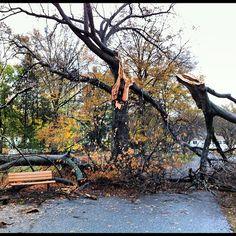 Huge tree split during Hurricane #Sandy at Ridgewood Duck Pond in NJ.