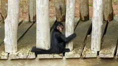 """Waisen-Affe """"Maju"""", erwartete seinen Retter wie immer, an der Cheiro do Mato Lodge."""