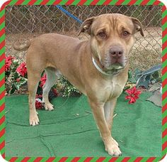 Marietta, GA - American Pit Bull Terrier/Shepherd (Unknown Type) Mix. Meet DILLON, a dog for adoption. http://www.adoptapet.com/pet/12116002-marietta-georgia-american-pit-bull-terrier-mix