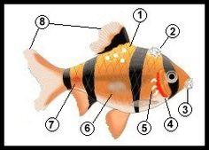 gill disease in aquarium fish | Tropical Fish Centre - Fish Diseases