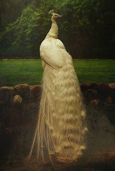 White Peacock in the garden