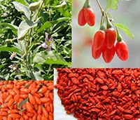 :: grow your own goji berries! To keep your goji small and compact, regularly trim the branches and harvest the berries. These plants prefer full sun and a wide range of soil types. As long as the plant is receiving enough water, the gojis will grow! Berry, Benefits Of Organic Food, Health Benefits, Health Foods, Goji, Vitamin B Complex, Prenatal Vitamins, Healthy Food Options, Beta Carotene