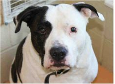 BUSTER - ID#A006795My name is Buster and I am a neutered male, white and brown Pit Bull Terrier.I am about 6 years old.I have been at the shelter since Dec 31, 2013.Would you like to APPLY NOW to adopt this sweetheart?