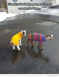 Funny pictures about Tiny Baby Goats In Sweaters. Oh, and cool pics about Tiny Baby Goats In Sweaters. Also, Tiny Baby Goats In Sweaters photos. Baby Animals, Funny Animals, Cute Animals, Baby Goats In Sweaters, Animal Facts, Cat Facts, Mo S, Cute Creatures, Funny Animal Pictures