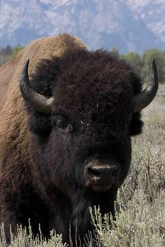"AMERICAN BISON....also known as buffalo....found in North America....a body length of 6.6 - 11.5 ft, a tail length of 12 - 36 inches and a weight 700 - 2,200 lbs....a shoulder height of 60 to 73 inches....capable of reaching speeds of 38 mph....estimated population of only 15,000 to 25,000 genetically pure Bison left....several American coins feature the American Bison, most famously on the reverse side of the ""buffalo nickel"" from 1913 to 1938....the largest mammal in North America"