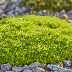 Sagina subulata 'Aurea' bildet gelbgrüne Polster Perennials, Stepping Stones, Flora, Landscape, Amazing, Outdoor Decor, Plants, Home Decor, Palette