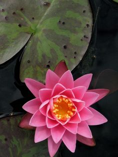 Pink Lotus yellow green black