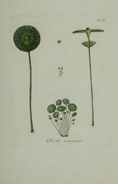 Hydrophytologiae Regni Neapolitani icones /. Neapoli :Ex Typographia Cataneo et Fernandes,1829