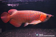 Violet fusion super red arowana. Pin by axel sujin