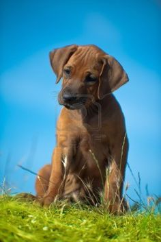 ..Beautiful Rhodesian ridgeback puppy.. Love these dogs!!!!!!