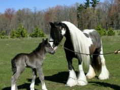 Beautiful gypsy horses