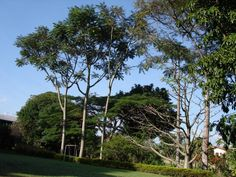 Árvores africanas