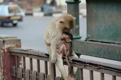 """Veronika Suba  """"Questa foto mi sa che merita un'emozione... Amore della mamma""""  Thailandia, Lop Buri, la città delle scimmie - 2013"""