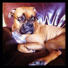 Boxer wearing glasses #boxerdog #specs