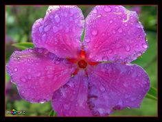 Princess flower in pink.
