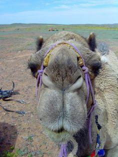 Australian Outback Camels #camels #australia