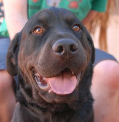 Nevada Society for the Prevention of Cruelty to Animals - CHASE <3   Joyful youngster, very attractive Rottweiler mix, neutered boy, 18 mos. We love his bright, sunny spirit!  He enjoys playing ball!  He is reportedly crate-trained.  He is reportedly good w/ mature KIDS.  He is reportedly good w/ DOGS his size, but cannot be around small dogs.  Rottweiler knowledge is preferred for his adoption.  (Nevada SPCA) 4800 W. Dewey Drive, Las Vegas, NV 89118