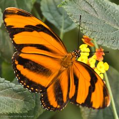 Orange Banded Longwing, Dryadula Phaetusa at Butterfly Magic, Tucson Botanical…